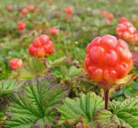 La plaquebière, chicoutai est un fruit à très haute teneur en vitamine C